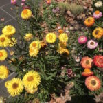 Dec 2019 - even though it is exceptionally hot and dry, the strawflowers / paper daisies provide spectacular colours and attract native bees and butterflies